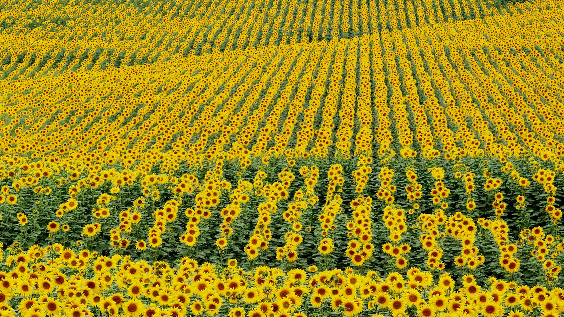 Image Sunflower Field Wallpapers And Stock Photos
