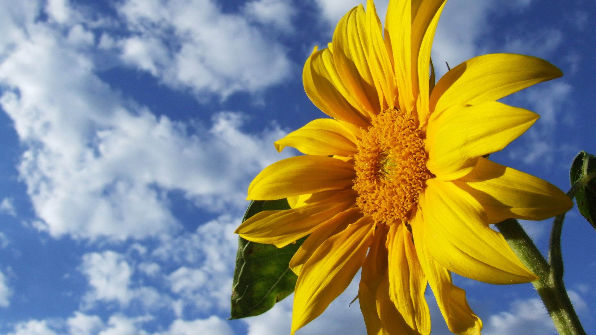 Image Result For Sunflower Screensavers Free Hd Wallpaper