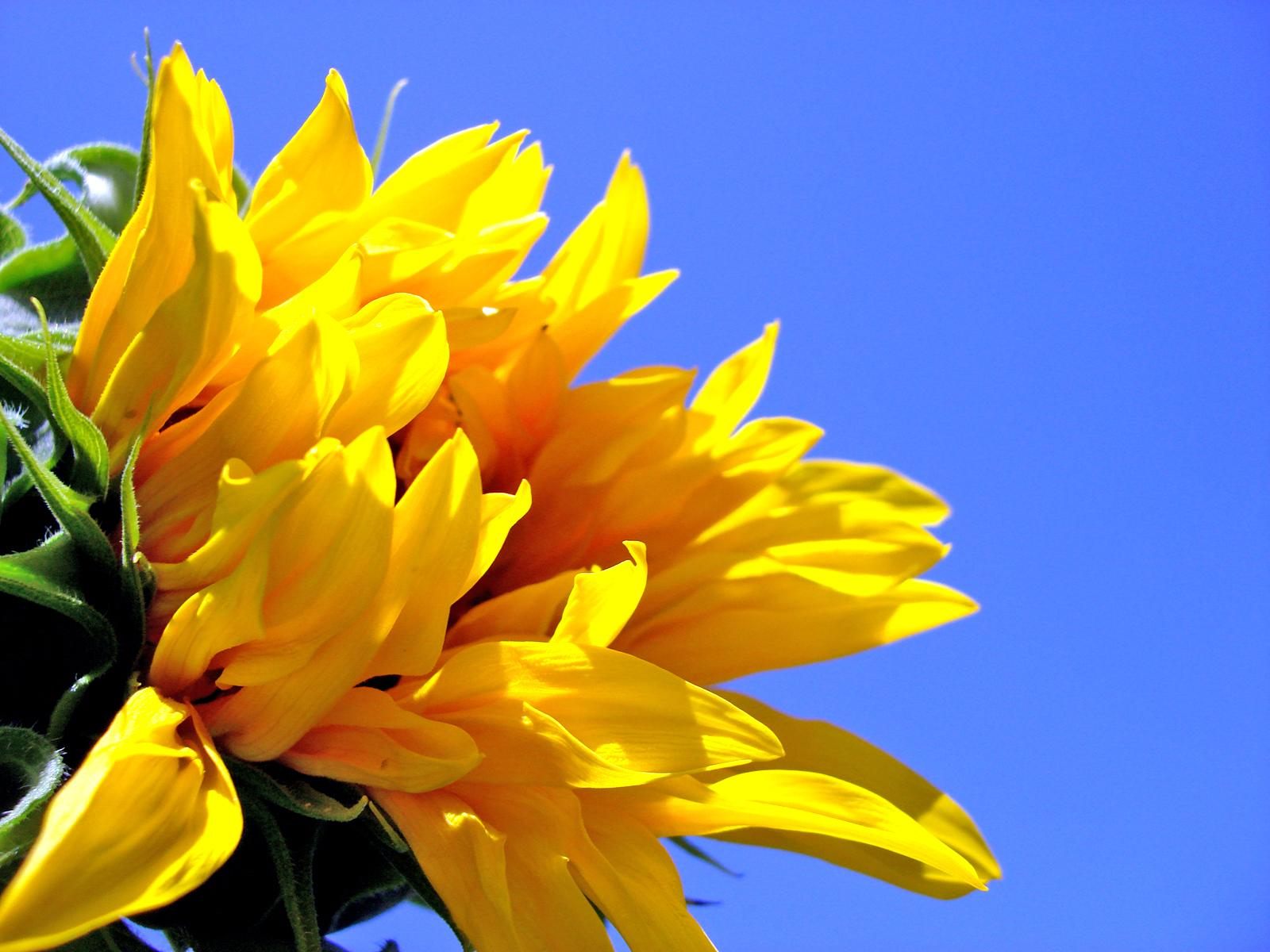 1600 Sunflower desktop wallpapers and stock photos