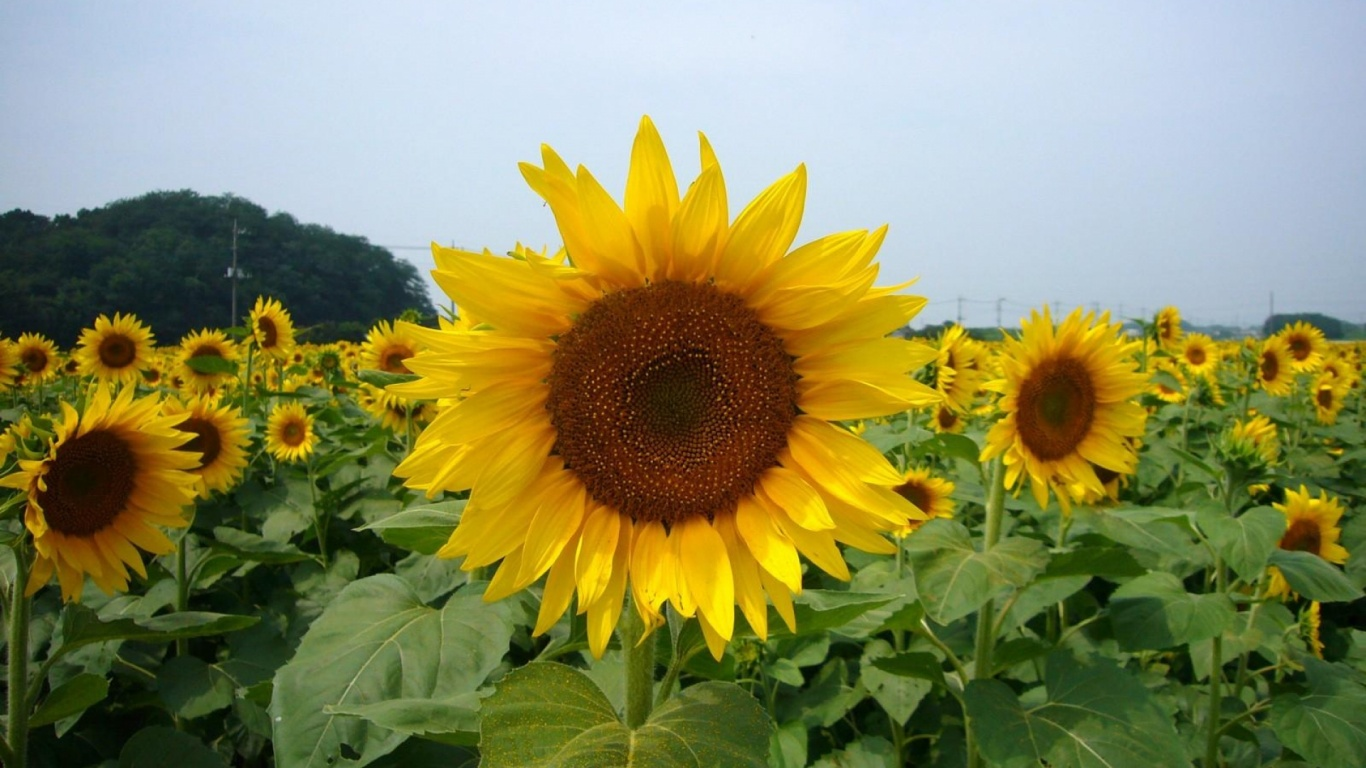 1366x768 Sunflowers Close Up