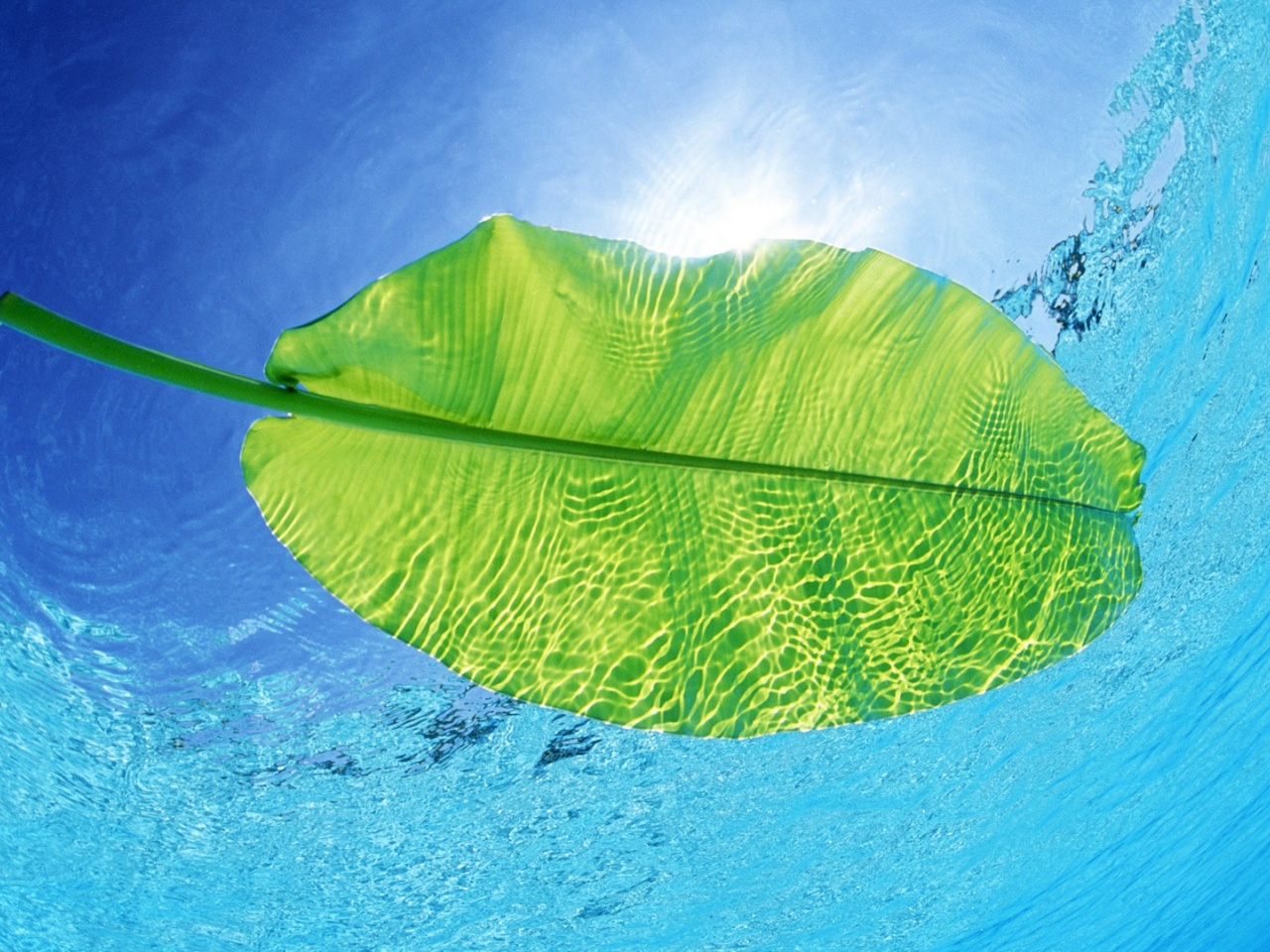 1280x960 Swimming Leaf