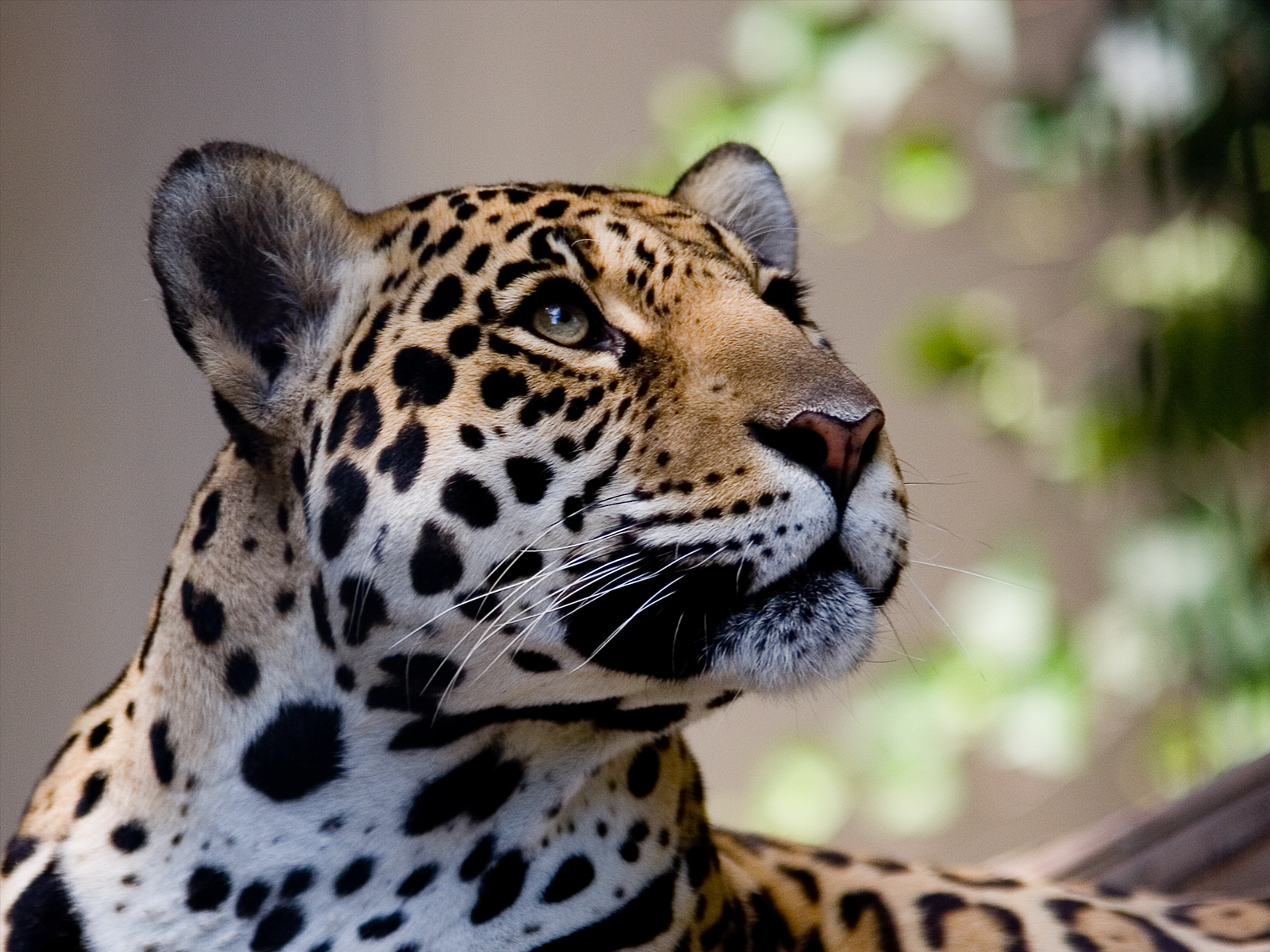 Mac Jaguar Download