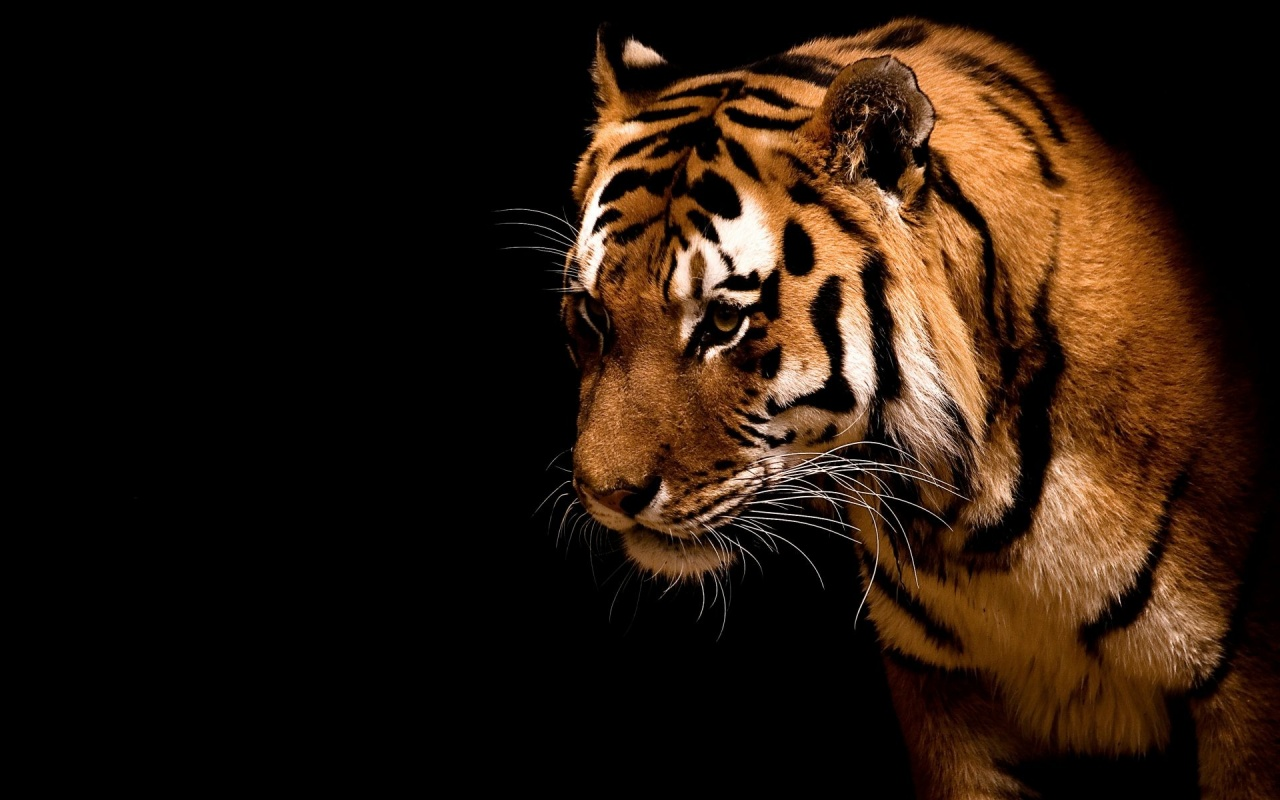 1280x800 Tiger,  backrounds, walls