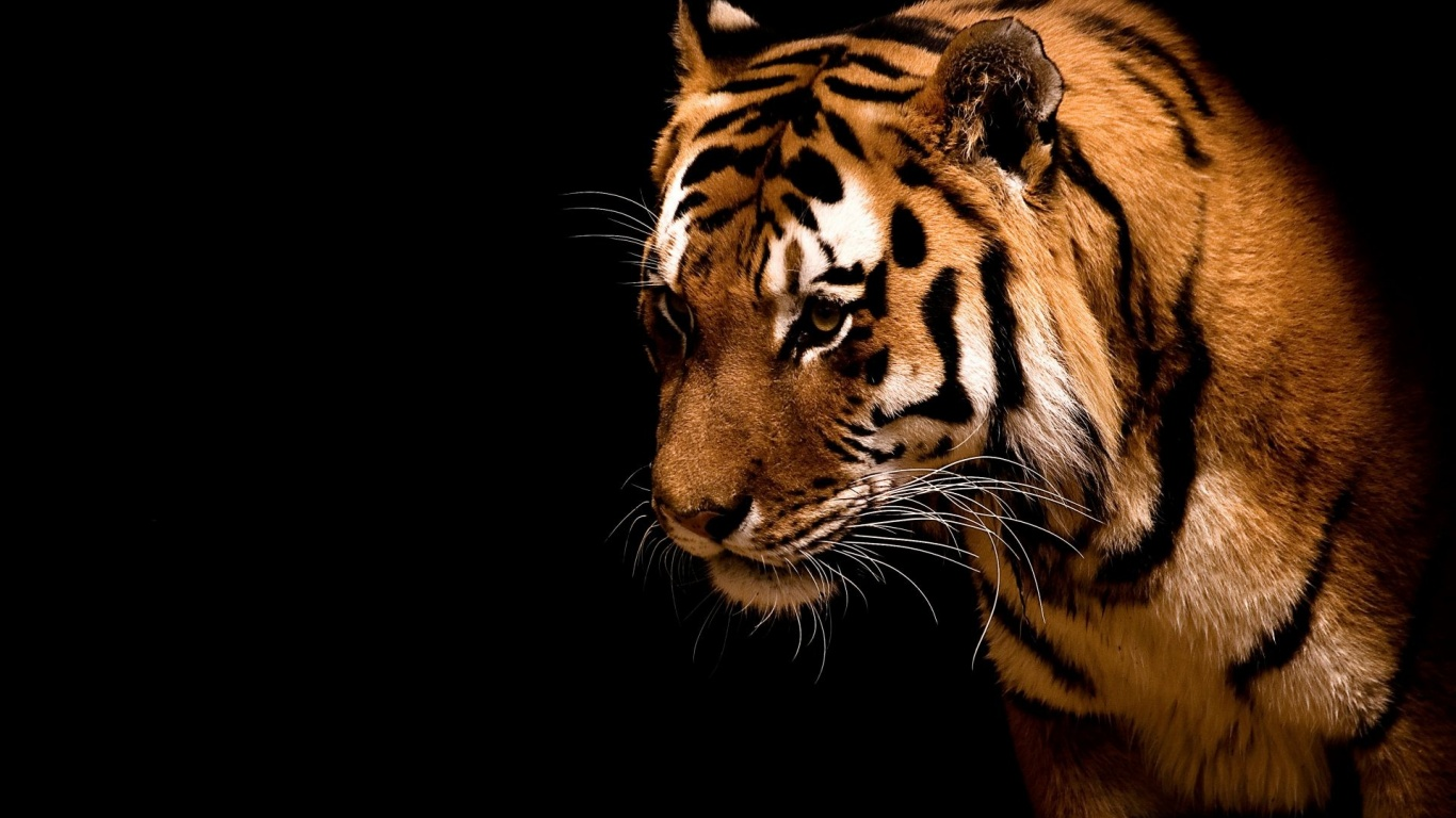 1366x768 Tiger,  backrounds, walls