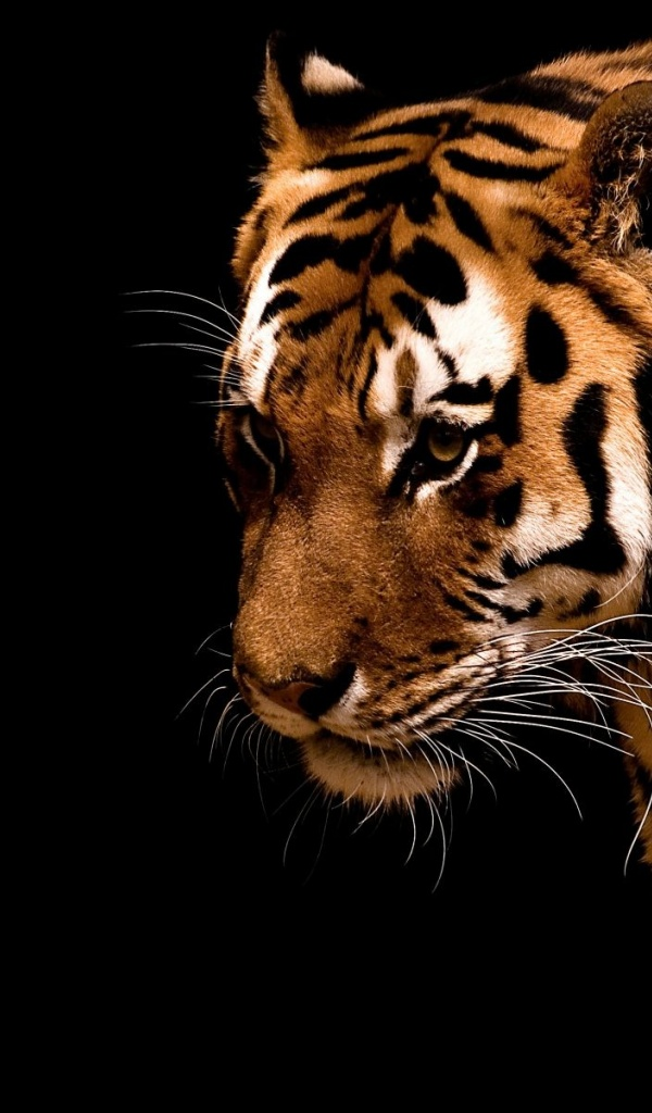 600x1024 Tiger,  backrounds, walls
