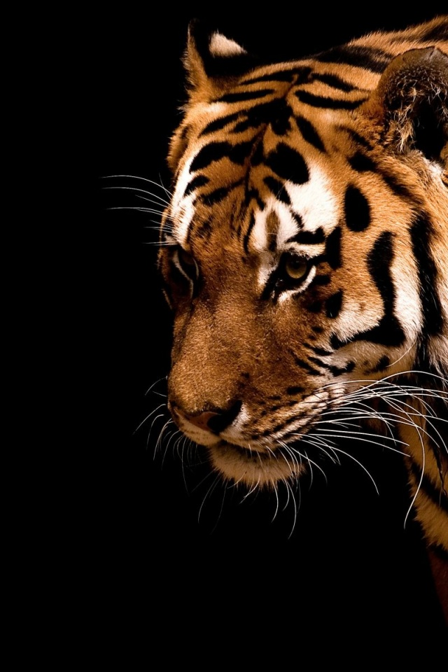 640x960 Tiger,  backrounds, walls