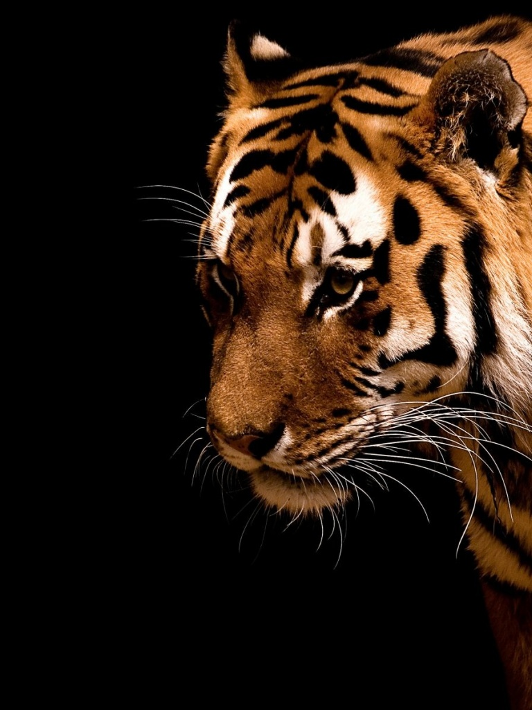 768x1024 Tiger,  backrounds, walls