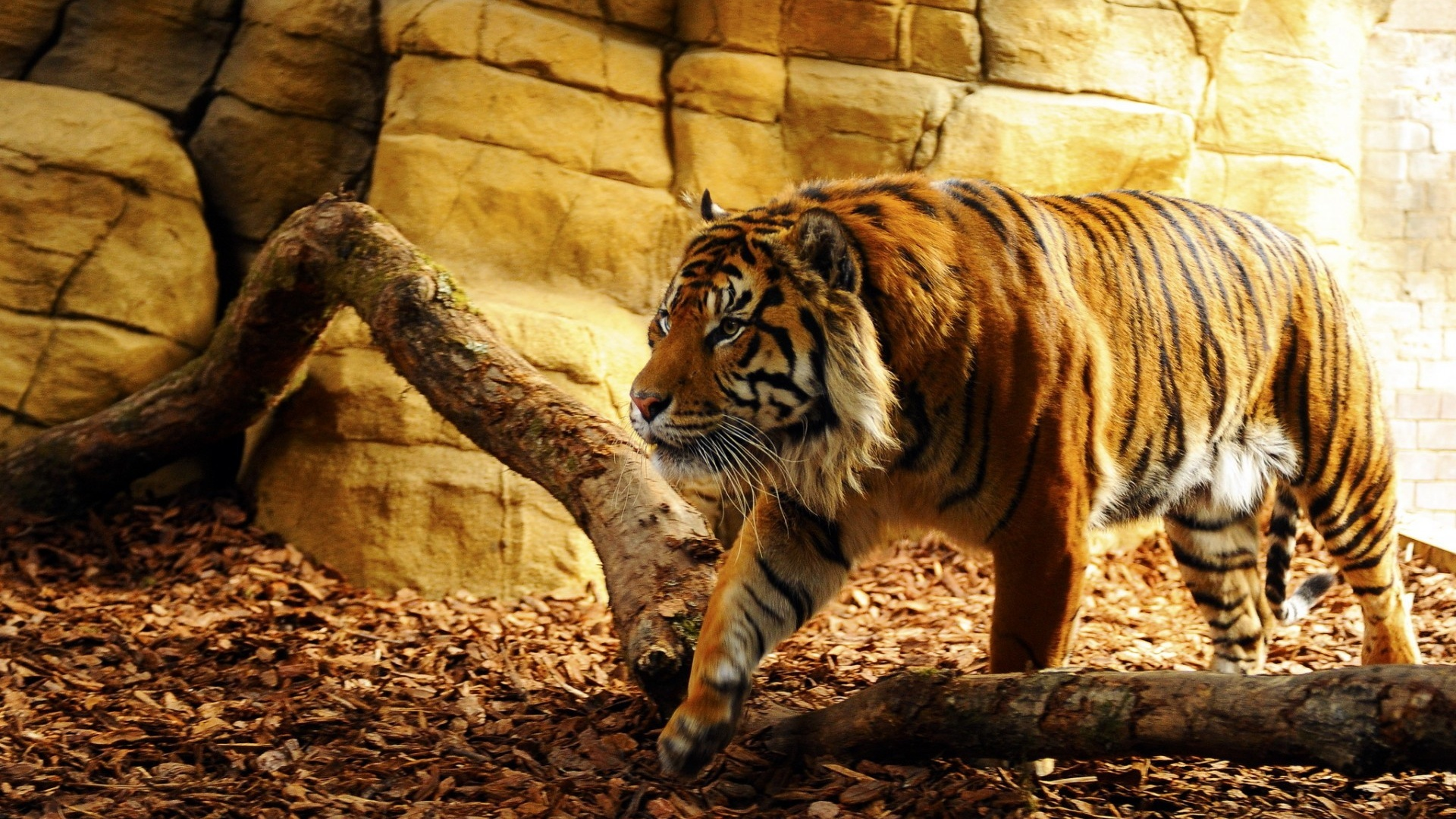Cool Wallpaper Mac Tiger - tiger-in-captivity_wallpapers_36692_1920x1080  Image_92364.jpg