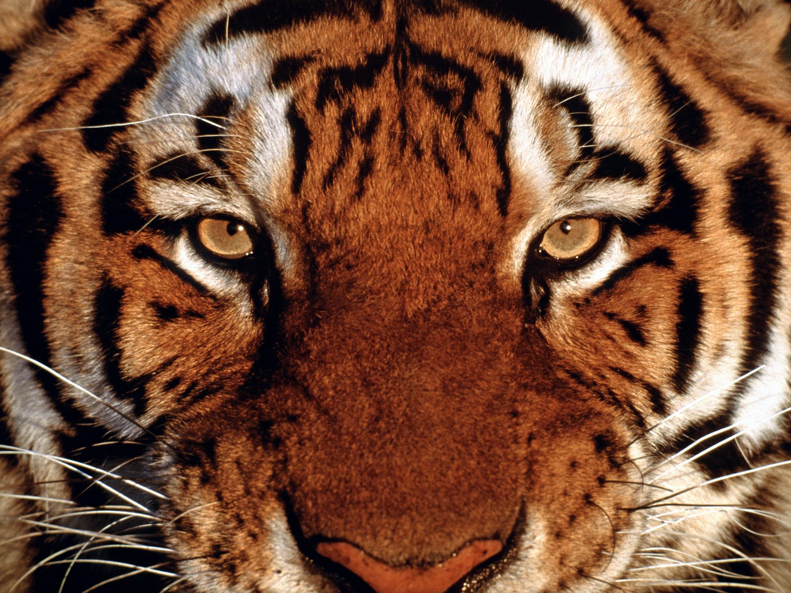 1600x1200 Tiger portrait desktop wallpapers and stock photos