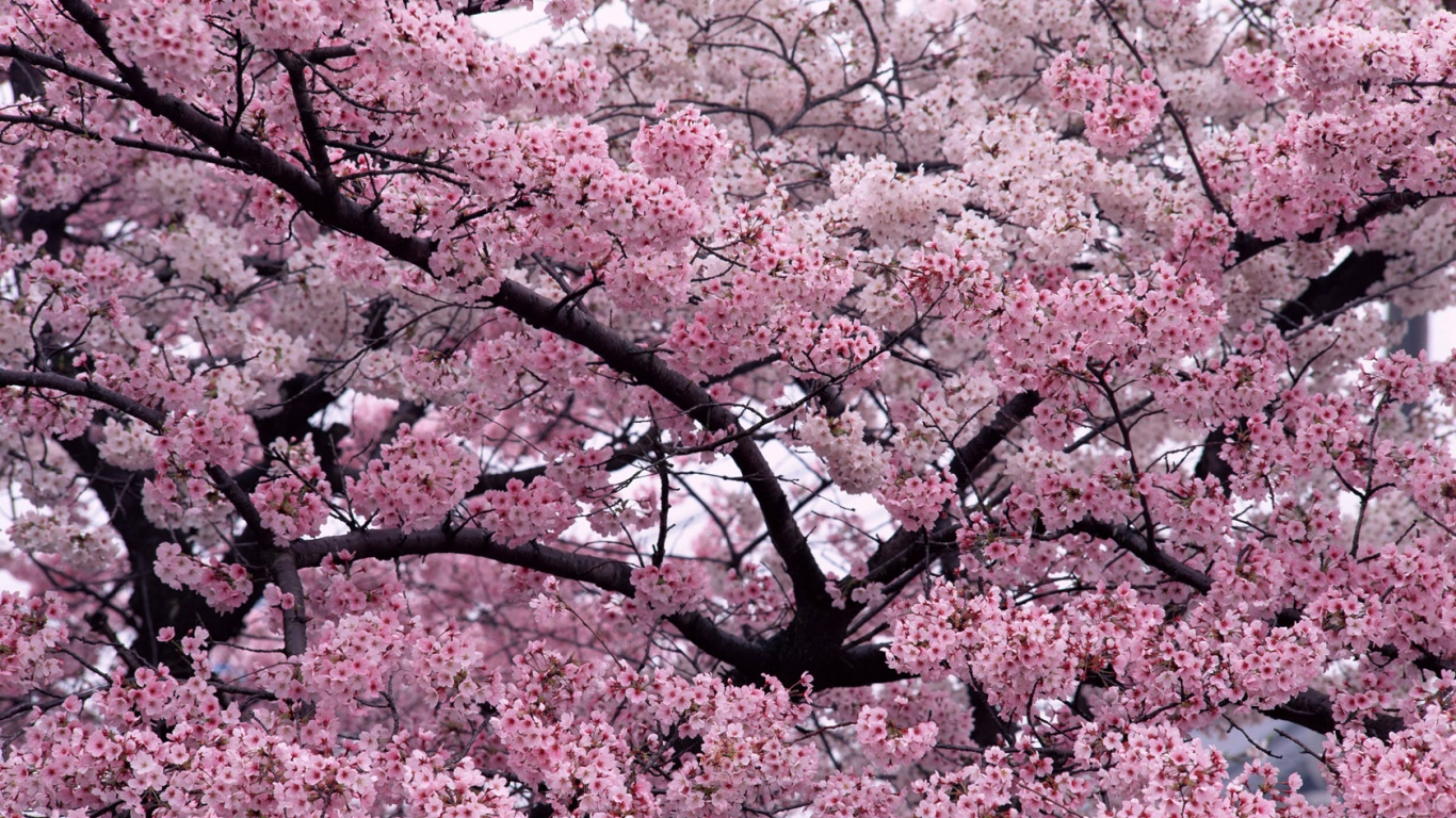 1366x768 Tree in Bloom