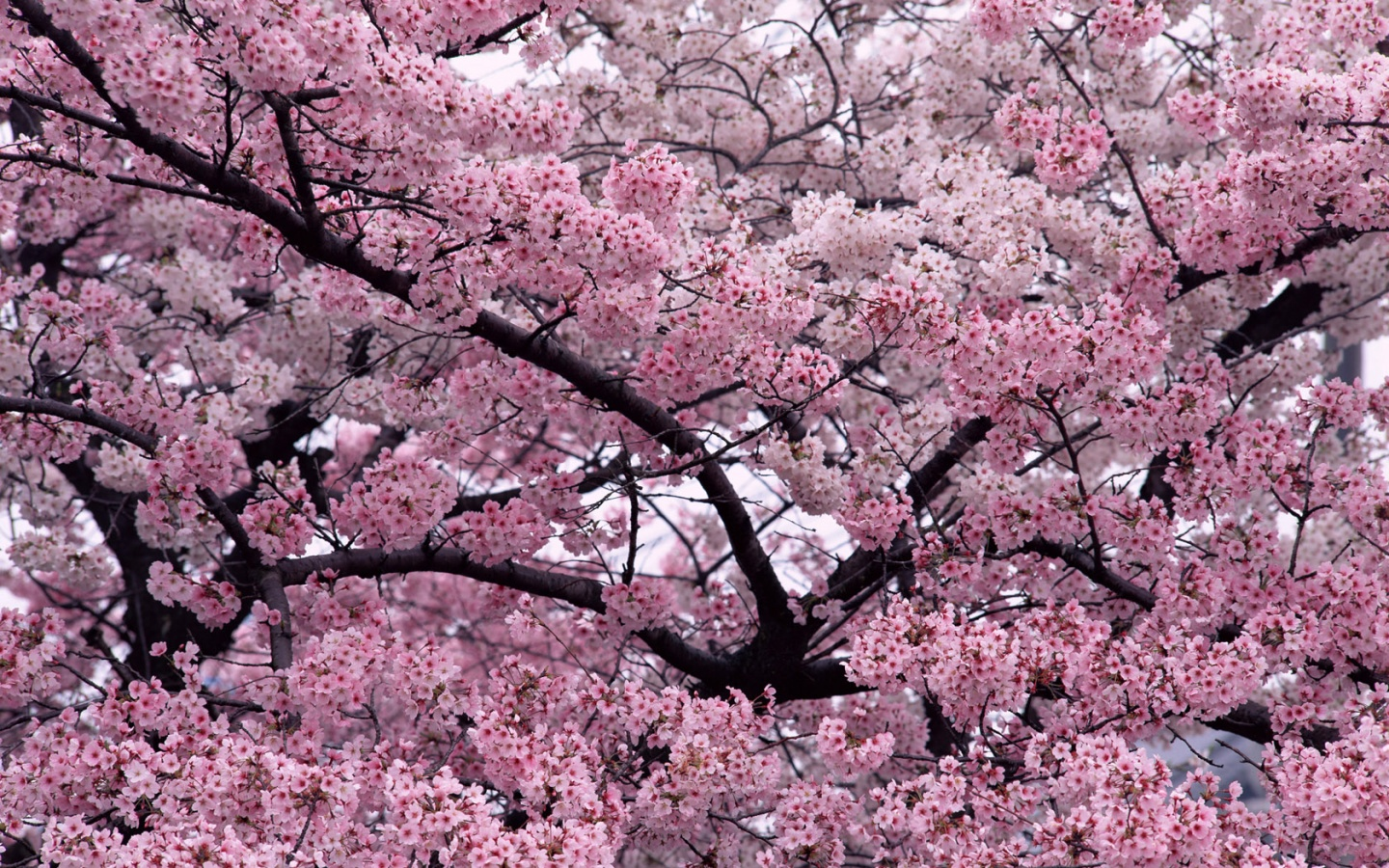 1440x900 Tree in Bloom