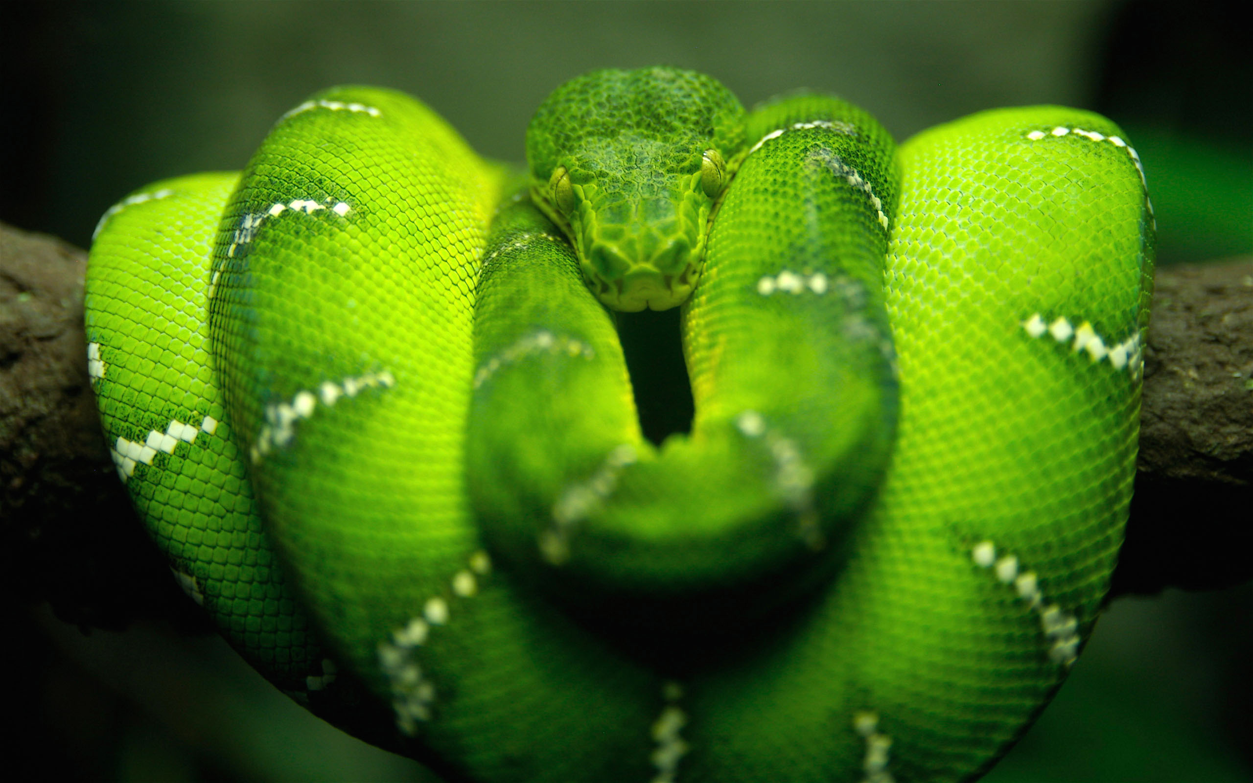 2560x1600 Tree Snake desktop PC and Mac wallpaper