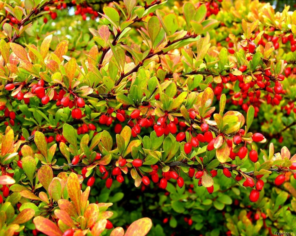 1024x768 Tree With Red Fruits Desktop Pc And Mac Wallpaper