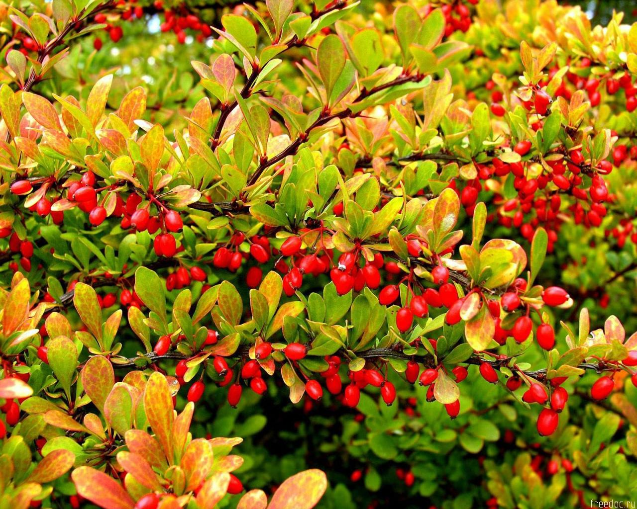 1280x1024 Tree with red fruits desktop PC and Mac wallpaper