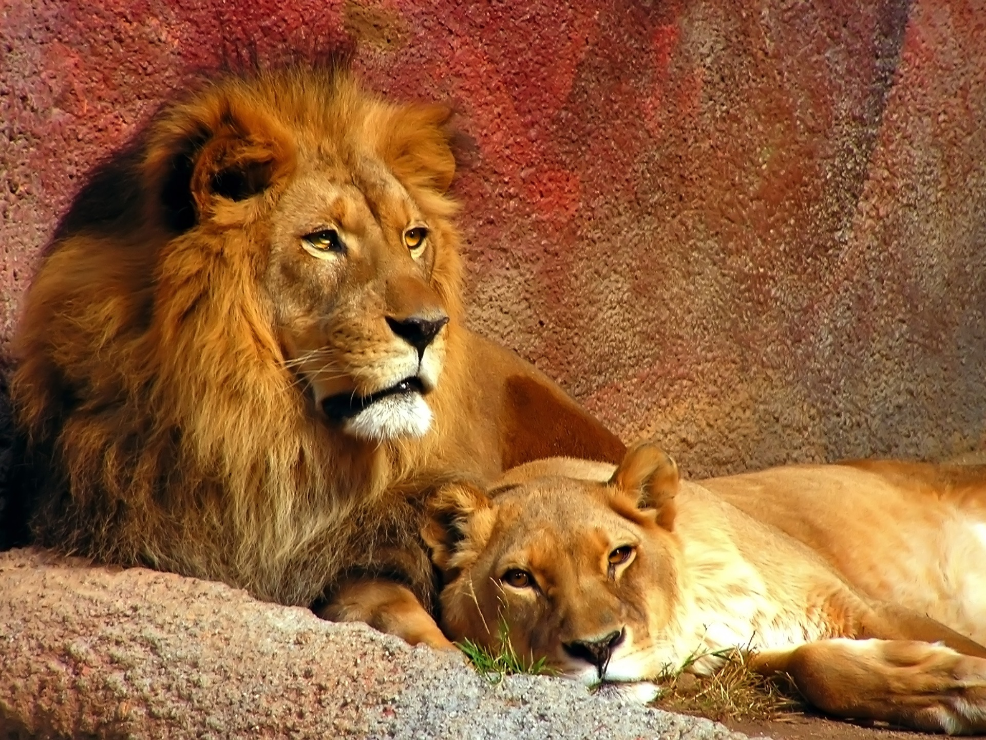 1920x1440 Two lions lying desktop PC and Mac wallpaper