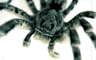 Tarantula up close wallpapers and stock photos