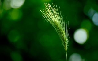 Green wheat wallpapers and stock photos
