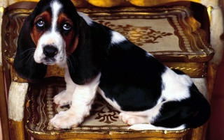 Basset hound puppy wallpapers and stock photos