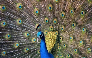 Hermosa pavo real wallpapers and stock photos