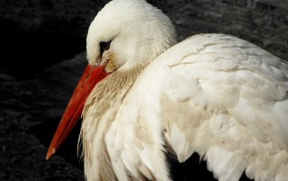 White stork wallpapers and stock photos