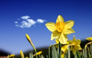 Beautiful daffodils wallpapers and stock photos