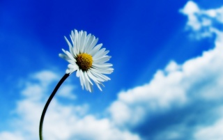 White daisy wallpapers and stock photos