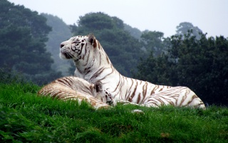 White Tigers wallpapers and stock photos