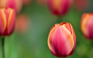 Previous: Red tulip