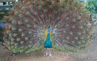 Big peacock wallpapers and stock photos