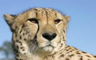 Cheetah portrait wallpapers and stock photos