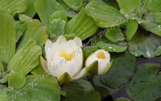 WHITE WATER LILY wallpapers and stock photos