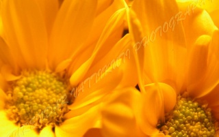 ORANGE DAISY ZOOM wallpapers and stock photos