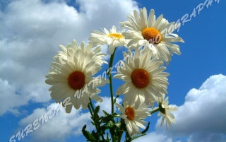WHITE DAISY WITH BLUE SKY wallpapers and stock photos