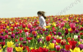 TULIPS GARDEN - 2 wallpapers and stock photos