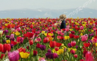 TULIPS GARDEN - 3 wallpapers and stock photos