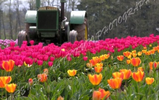 TULIPS GARDEN WITH TRACTOR wallpapers and stock photos
