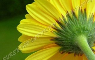 YELLOW DAISY REAR ZOOM wallpapers and stock photos