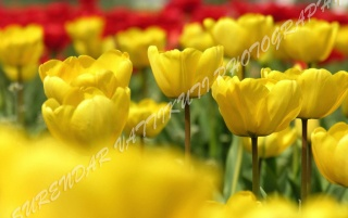 TULIPS GARDEN ZOOM wallpapers and stock photos