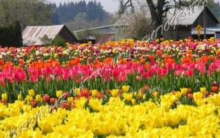 TULIPS GARDEN WITH COTTAGES wallpapers and stock photos