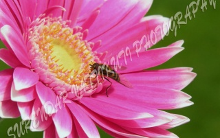 PINK DAISY WITH A BEE wallpapers and stock photos