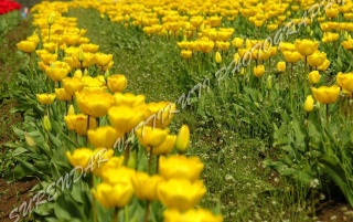 YELLOW TULIPS LINE ZOOM wallpapers and stock photos