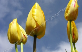 YELLOW TULIPS WITH BLUE SKY wallpapers and stock photos
