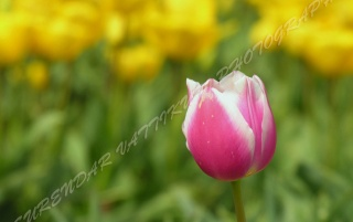PINK TULIP FLOWER ZOOM wallpapers and stock photos
