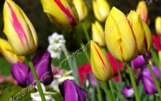 TULIPS FLOWERS ZOOM wallpapers and stock photos