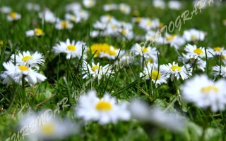 WHITE DAISYS ZOOM wallpapers and stock photos