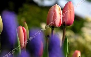 PINK TULIPS FAR ZOOM wallpapers and stock photos