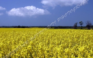 YELLOW FLOWERS GARDEN wallpapers and stock photos