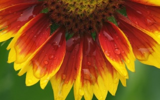 Previous: Blanket flower