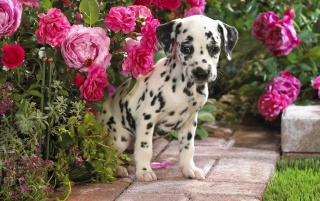 Dalmatian puppy wallpapers and stock photos