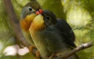 Pekin Robins wallpapers and stock photos
